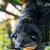 asian bearcat   arctictis binturong stock photo © yongkiet