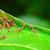 formigas · verde · edifício · ninho · Tailândia - foto stock © Yongkiet