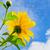 Mexicaanse · zonnebloem · onkruid · bloemen · heldere - stockfoto © yongkiet
