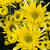 amarillo · crisantemo · hermosa · pequeño · aislado - foto stock © yongkiet