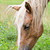 close up face of the horse stock photo © yongkiet