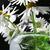 camomila · cair · folha · fundo · beleza · verão - foto stock © yul30