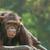 チンパンジー · 肖像 · 古い · 髪 · 悲しい · 動物 - ストックフォト © yuliang11