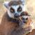 ring tailed lemur catta stock photo © zastavkin