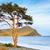 lonely tree near baikal lake stock photo © zastavkin