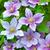 purple clematis flowers on a natural stock photo © zeffss