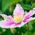 lila · virágok · természetes · textúra · természet · fény - stock fotó © zeffss