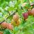çalı · can · kullanılmış · yaprak · meyve · bahçe - stok fotoğraf © zeffss