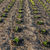 potato field young seedlings stock photo © zeffss