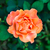 laranja · mutante · rosa · água · primavera · amor - foto stock © zeffss