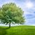 chêne · vert · prairie · ciel · lumière · nuages - photo stock © zerbor