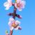 pêssego · primavera · flores · jardim - foto stock © zhukow