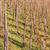 vineyard bright sunny day stock photo © zhukow