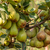Bunch of ripe pears on tree branch stock photo © Zhukow