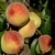 perziken · witte · twee · oranje · Rood · geïsoleerd - stockfoto © zittto