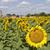 подсолнухи · пейзаж · горизонтальный · выстрел · красивой · подсолнечника - Сток-фото © zittto