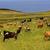 зеленый · пастбище · коров · синий · облачный · небе - Сток-фото © zittto