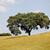dąb · dziedzinie · Portugalia · kwiat · drzewo · wiosną - zdjęcia stock © zittto