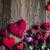 dag · Rood · harten · rozen · houten · tafel · bloem - stockfoto © zolnierek