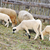 falu · farm · állat · gyapjú · közelkép · gazdálkodás - stock fotó © zurijeta