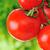 kicsi · koktélparadicsom · növekvő · ág · zöld · paradicsom - stock fotó © zurijeta
