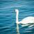 hattyú · szeretet · tükröződés · gyönyörű · tó · természet - stock fotó © zurijeta