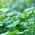 verde · fresco · trevo · campo · dia · férias - foto stock © zven0