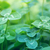 clover leaves stock photo © zven0