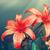 два · красный · Лилия · изолированный · белый · цветок - Сток-фото © zven0