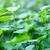 erba · verde · trifoglio · foglie · verde · fresche · erba - foto d'archivio © zven0